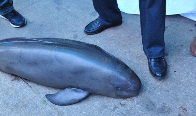 1a4a2008b54f The Quest to Save China s Finless Porpoises